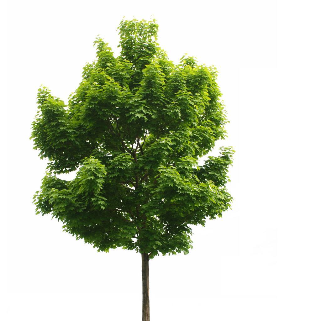 Дерево в полный рост
